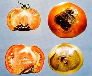 Помідори, захист від хвороб: фітофтороз, плямистість листя, чорна ніжка