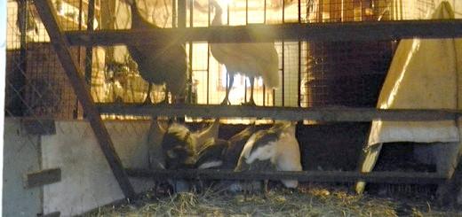 На фото нічне освітлення в пташнику цесарок, jpg.net