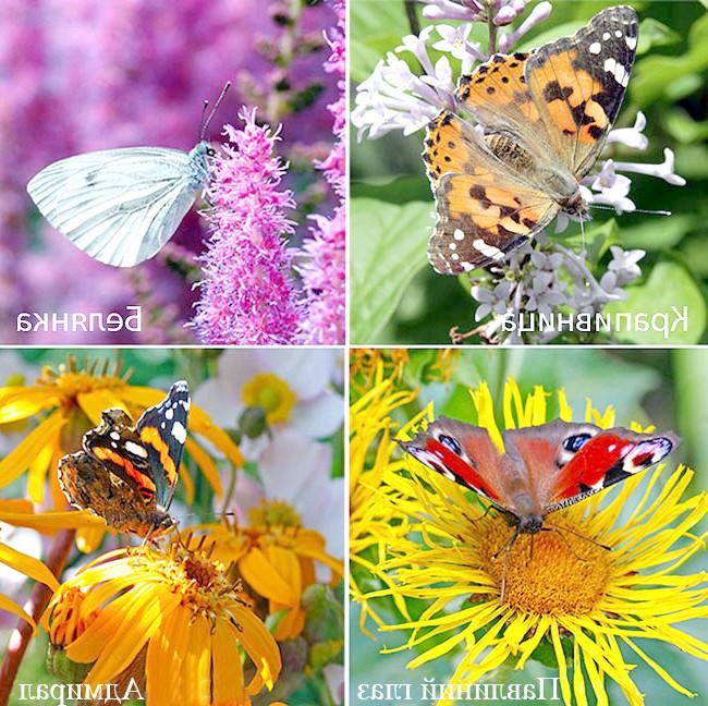 Фото - Залучаємо в сад метеликів