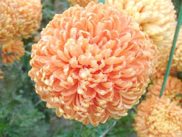 Незрівнянний помаранчевий сорт Astro Bronze