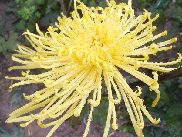Хризантема з пауковідной формою суцвіття сорт Gold Strings