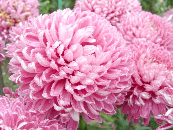 Рожевий сорт Holmdel Dark