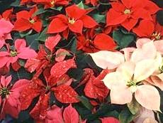 Яскраві приквіткове листя пуансеттии