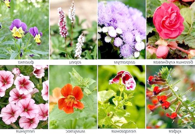Фото - Рослини для пересувних квітників
