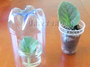 Розмноження фіалок листовими живцями
