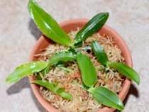Розмноження та вирощування сіянців орхідей