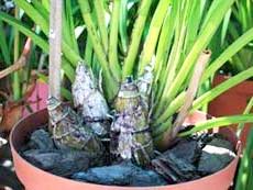 Розмноження орхідей з псевдобульбамі