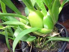 Псевдобульби у орхідеї