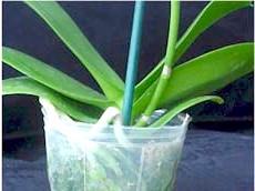Орхідея Фаленопсис: розмноження і догляд