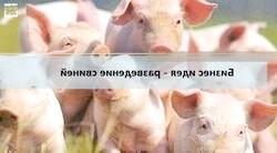 Фото - Розведення свиней як бізнес - що потрібно врахувати, щоб домогтися високої рентабельності?