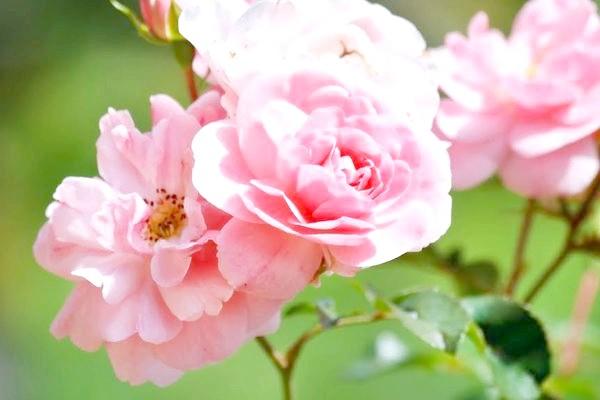 троянди на дачній ділянці