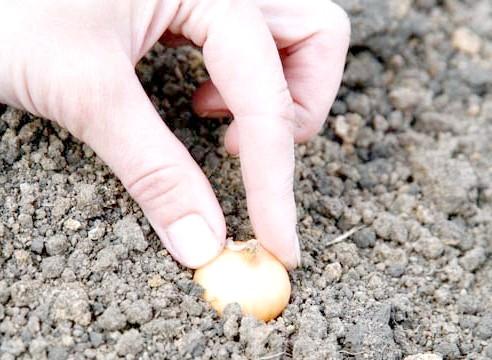 Ріпчасту цибулю, посадка севка