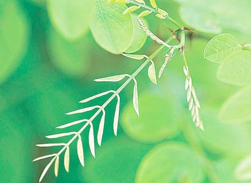 Акація біла, Robinia pseudoacacia