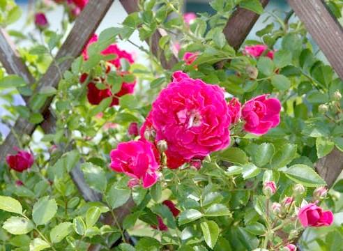 Роза, вертикальне озеленення