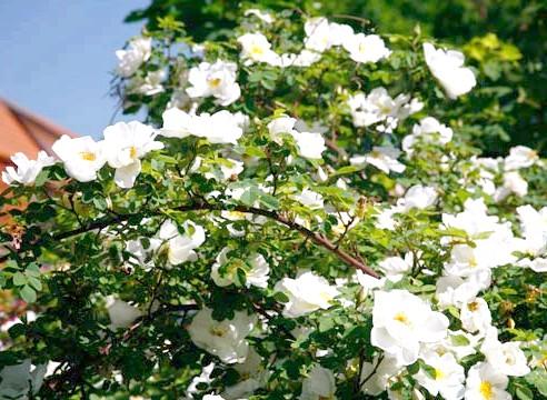 Роза плетистих