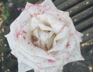 Фото - Рози.обработка троянд від хвороб і шкідників