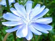 Фото - Синь-квітка