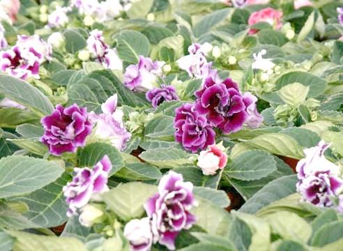 Глоксинія прекрасна, Gloxinia speciosa