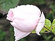 Фото - Казка про прекрасну троянді