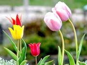 Казкові тюльпани