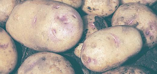 Сорт картоплі Пікассо