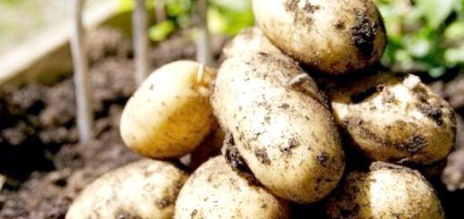 Сорт картоплі Тулеевска