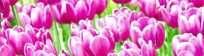 Фото - Сорти тюльпанів, а також їх види - всі секрети прекрасної квітки