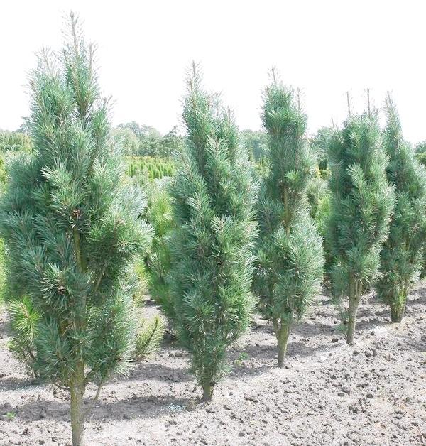 Pinus sylvestris (сосна звичайна)