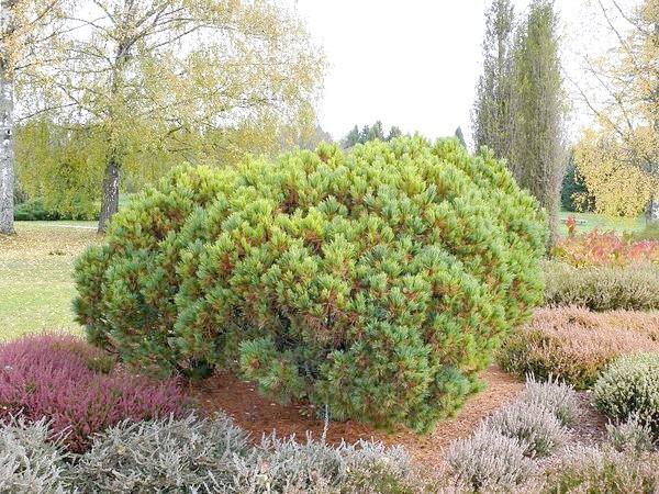 Pinus peuce Griseb (сосна балканська вона ж румелійським)