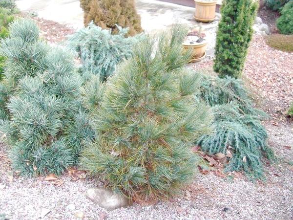 Pinus peuce Griseb (сосна балканська)