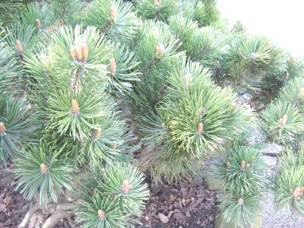 Pinus mugo (сосна гірська)