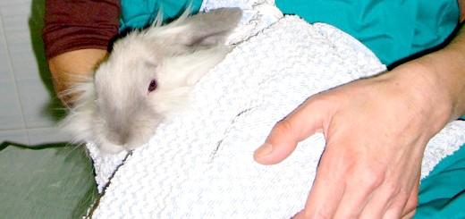 Кролика після операції кастрації, vetclinic-if.ru