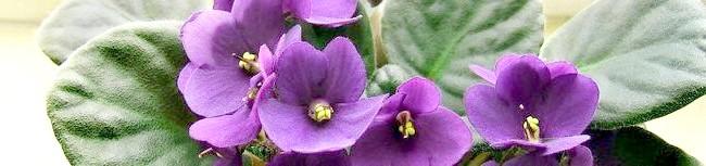 Фото - Поради досвідчених квітникарів як садити фіалки