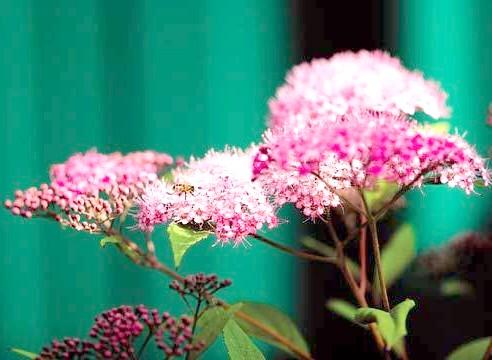 Спірея, цвітіння, Spirаea