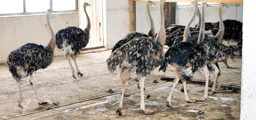 На фотографії ферма «Російський страус», moscow.kidsters.ru