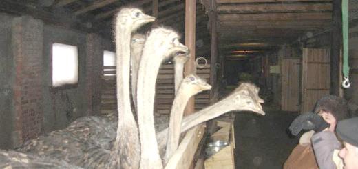 Страусина ферма «Макарьевский страус», tourismnn.ru