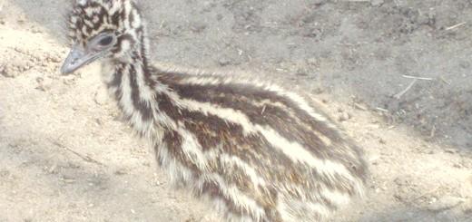 Фото пташеня австралійського страуса Ему, zoo48.ru