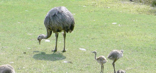 Фотографія пташенят африканського страуса Нанду, yandex.ru
