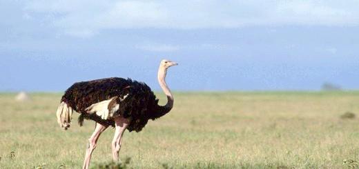 Фото африканського страуса, 900igr.net