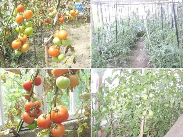 Вирощування помідор