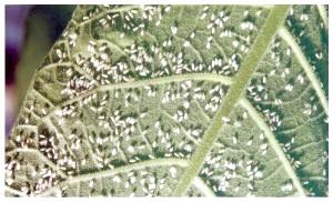 Фото - Теплична білокрилка - заходи боротьби зі шкідником