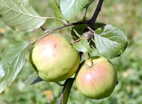 Яблуня, плоди