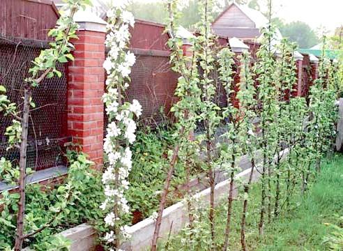 Колонновидні яблуні в саду