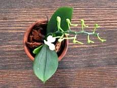 Моноподіальним вид орхідеї