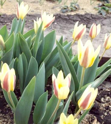 Тюльпани - сорти, посадка, догляд