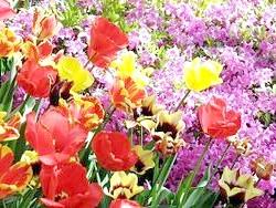 Тюльпани в дизайні саду - як красиво посадити ці весняні квіти в саду