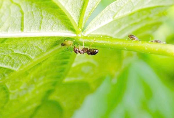 Фото - Попелиця і мураха