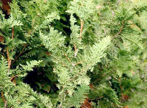 Туя, листя, Thuja oссidentalis