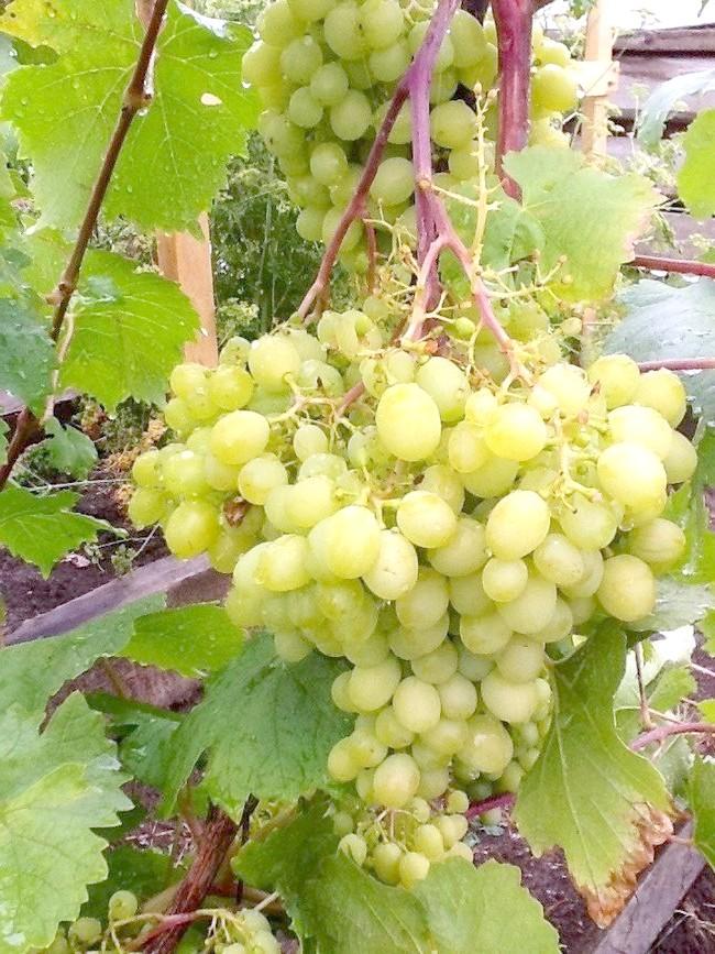 Виноград на нашому городі