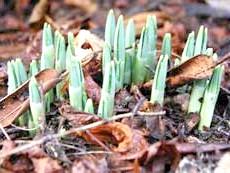 Листя пролісків в саду